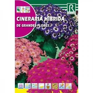 CINERARIA HIBRIDA DE GRANDES FLORES SEMILLA